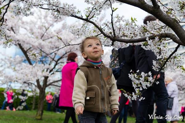 Весной в Вильнюсе цветет сакура. К сожалению, это волшебство длится всего несколько дней
